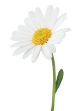Lovely Daisy (Marguerite) Isolated On White Background.