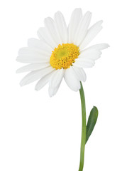 Lovely Daisy (Marguerite) isolated on white background.