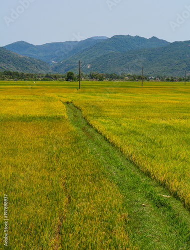 Printed kitchen splashbacks Khaki Rice field in Southern Vietnam