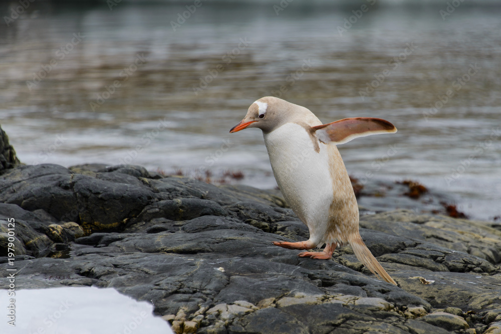 Gentoo penguin albino