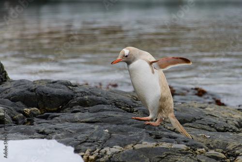 Fotografie, Obraz Gentoo penguin albino