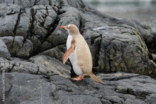 Photo Gentoo penguin albino