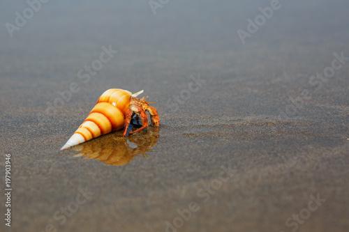 hermit crab on the beach in Varkala Wallpaper Mural