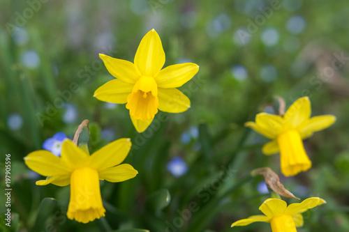 Garden Poster Narcissus Gelbe Narzissen blühen im Frühling