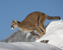 Mountain Lion Adult In The Snow