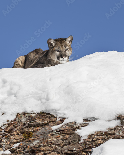 Poster Puma Mountain Lion Cub in the snow on the rocks