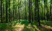 Dense Beech Forest With Tall T...