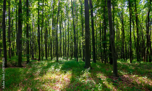 Valokuvatapetti dense beech forest with tall trees. beautiful nature background