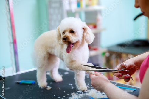 fototapeta na drzwi i meble Young cute happy little white dog is having his fur on paws trimmed by a female animal hairdresser.