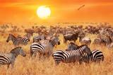 Fototapeta Sawanna - Herd of wild zebras and wildebeest in the African savanna against a beautiful orange sunset. The wild nature of Tanzania. Artistic natural image.