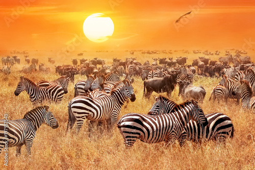 Aluminium Prints Zebra Herd of wild zebras and wildebeest in the African savanna against a beautiful orange sunset. The wild nature of Tanzania. Artistic natural image.