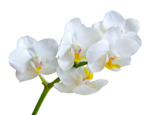 Branch With White Orchid Flowe...