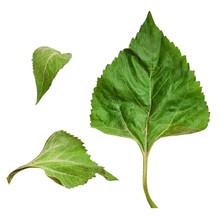 Set Of Green Leaves Of Sunflower