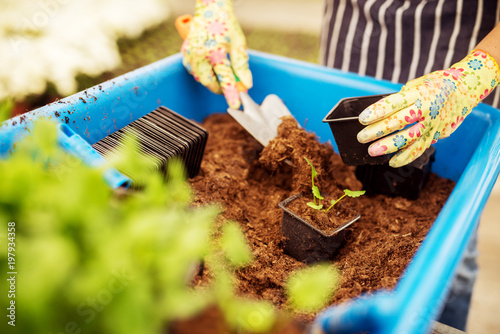 Fototapeta Close up of woman florist hands while putting plants in the small flowerpot. obraz