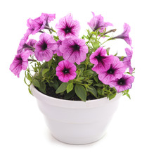 Colorful Petunia In The Pot.
