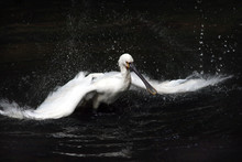 Pelican Is Waving By Wings Over The Water