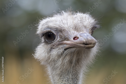 Fotobehang Struisvogel Common Ostrich portrait