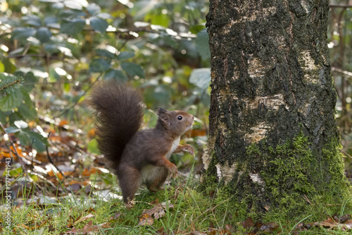 Tuinposter Eekhoorn squirrel in the grass