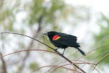 Red Winged Blackbird Agelaius Phoeniceus Perches On A Tree