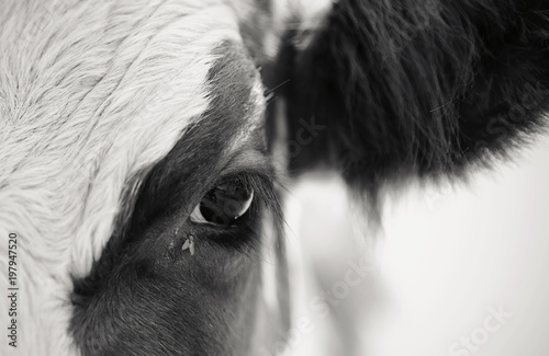 Naklejki krowa  not-the-color-eyes-cow-and-the-fly