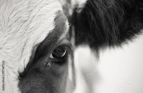 Naklejki krowa  nie-kolorowe-oczy-krowy-i-muchy