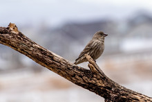 Female House Finch Perched On ...
