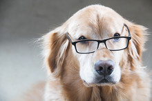 Golden Retriever Dog Looking Over A Pair Of Reading Glasses