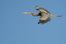 Great Blue Heron Flying In A B...