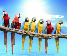Fototapetaflock of red and blue yellow macaw purching on dry tree branch isolated white background
