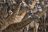 Fototapeta Sawanna - flock of african giraffe on sawanna field