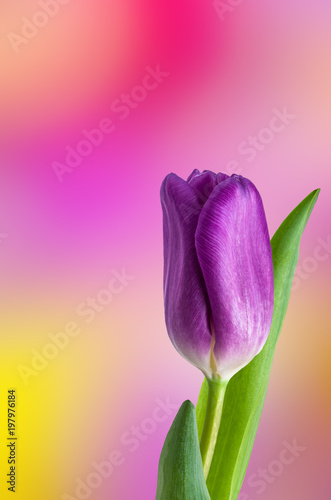 Obraz na plátně Bouquet of multicolored tulips