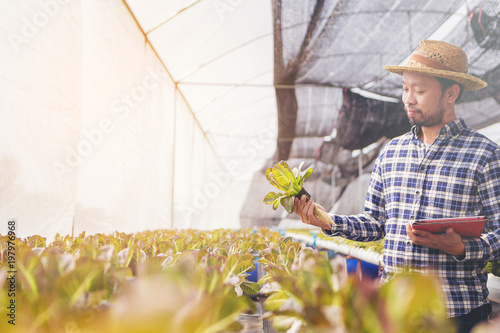 Farmer, Owner hydroponics vegetable farm in the greenhouse inspects the quality of the organic vegetables for harvest.