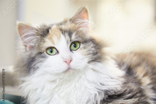 Fotografie, Obraz  Fluffy calico cat resting at home