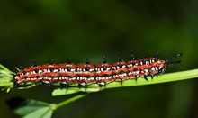 A Variegated Fritillary Caterpillar (Euptoieta Claudia) Working Its Way Along A Plant Stem In A Patch Of Ground Cover.