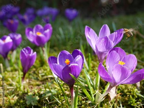 Fotobehang Krokussen lila Krokusse