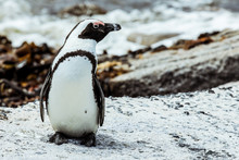 Spectacled Penguin On The Sout...