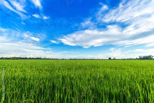 Fotografia Beautiful green cornfield with sunset sky background.