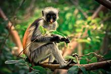 Colobus Monkey Eating Leaves, Tanzania