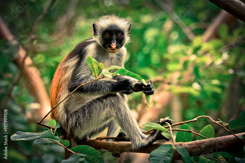 Spoed Fotobehang Zanzibar Colobus Monkey eating Leaves, Tanzania