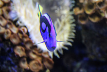 Pacific Regal Blue Tang Or Blu...
