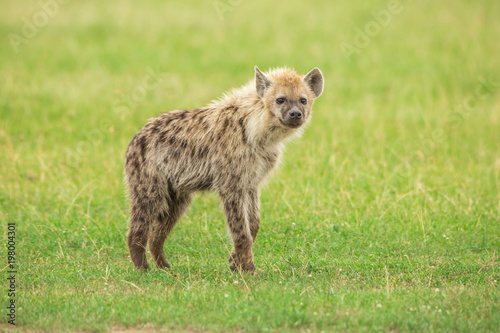 Foto op Canvas Hyena Young hyena