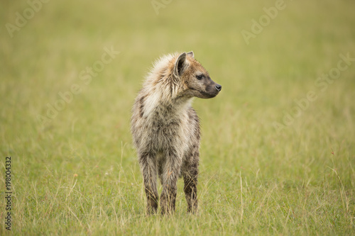 In de dag Hyena Young hyena