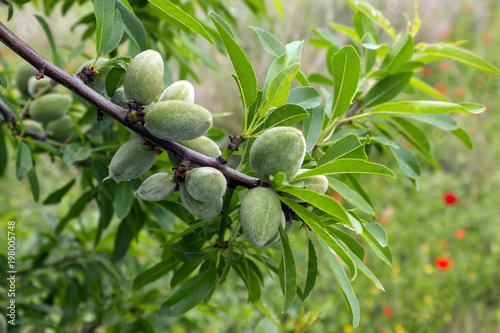 Fototapeta Unripe almonds on almond tree. Sunny spring day in Greece.