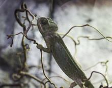 Common Chameleon Or Mediterra...