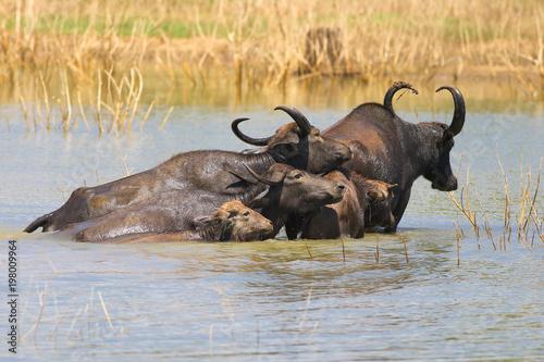 Keuken foto achterwand Buffel Herd of water buffalo Bubalus bubalis swimming in lake