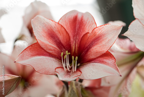 red and white amaryllis flower blooming in a natural garden Canvas Print
