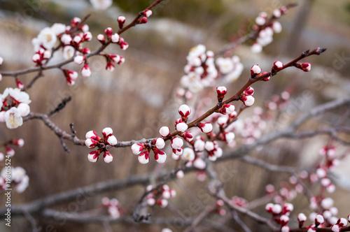 Staande foto Bloemen 매화가 피기 직전의 꽃봉오리들이 팝콘 같은 느낌을 주고 있다