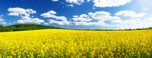Yellow Rapeseed Field Panorama With Beautiul Sky