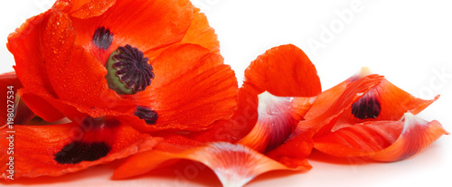 Red poppy petals on a white background.