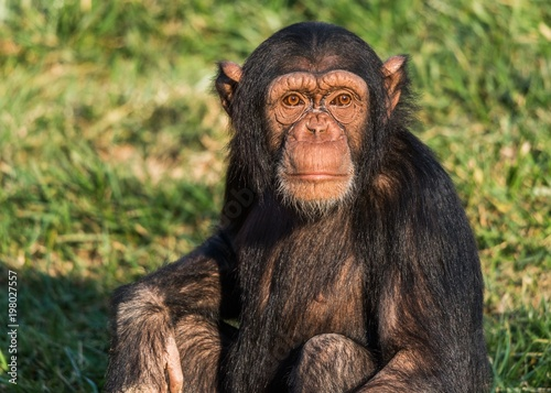 Fototapeta A young chimpanzee close up